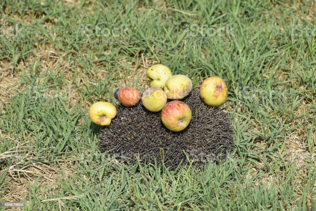 Hedgehog on a green grass. Hedgehog needles pinned on apples, peaches and plums. Hedgehog curled up into a ball stock photo