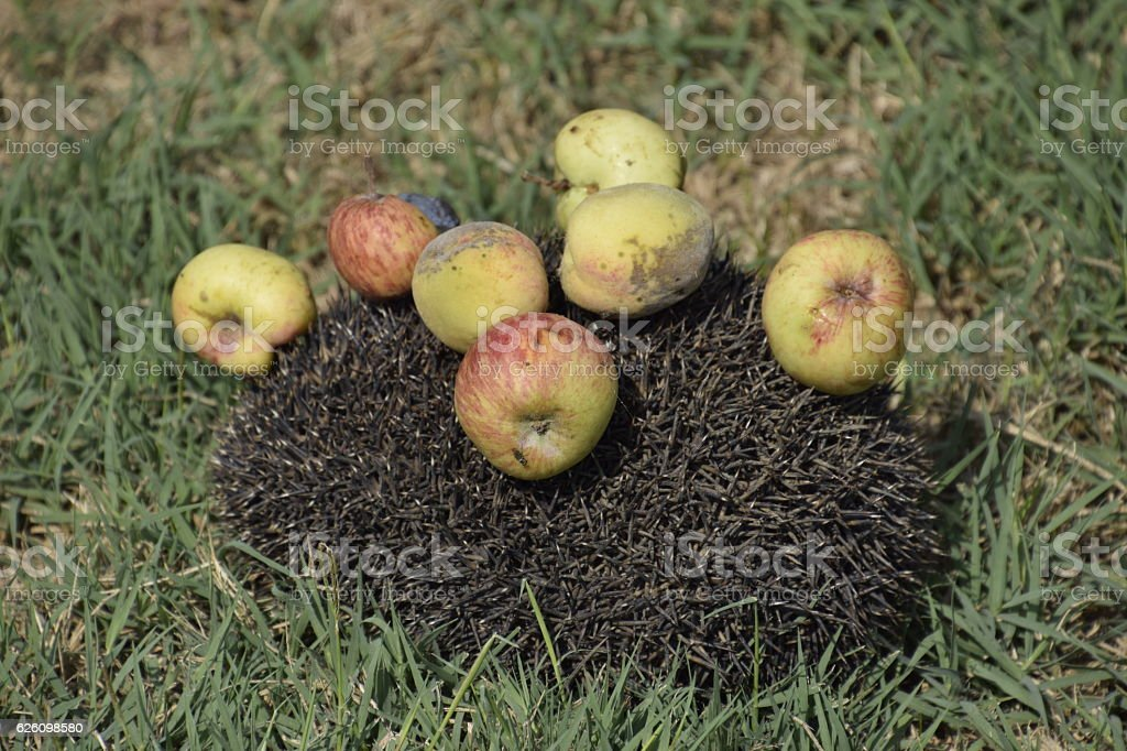 Hedgehog on a green grass stock photo
