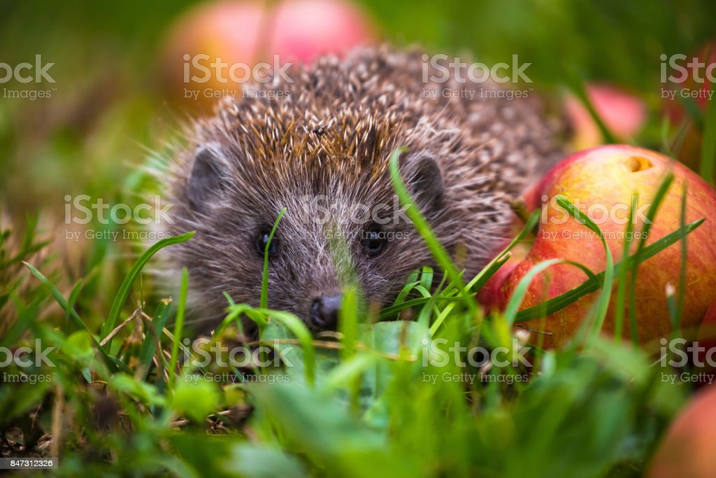 Hedgehog on aplles in nature view, wildlife portrait stock photo