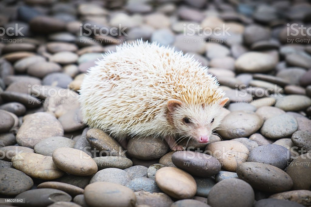 Hedgehog on stack of rock royalty-free stock photo