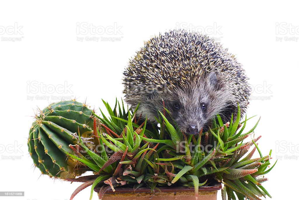 Hedgehog on the cactus and aloe isolated stock photo
