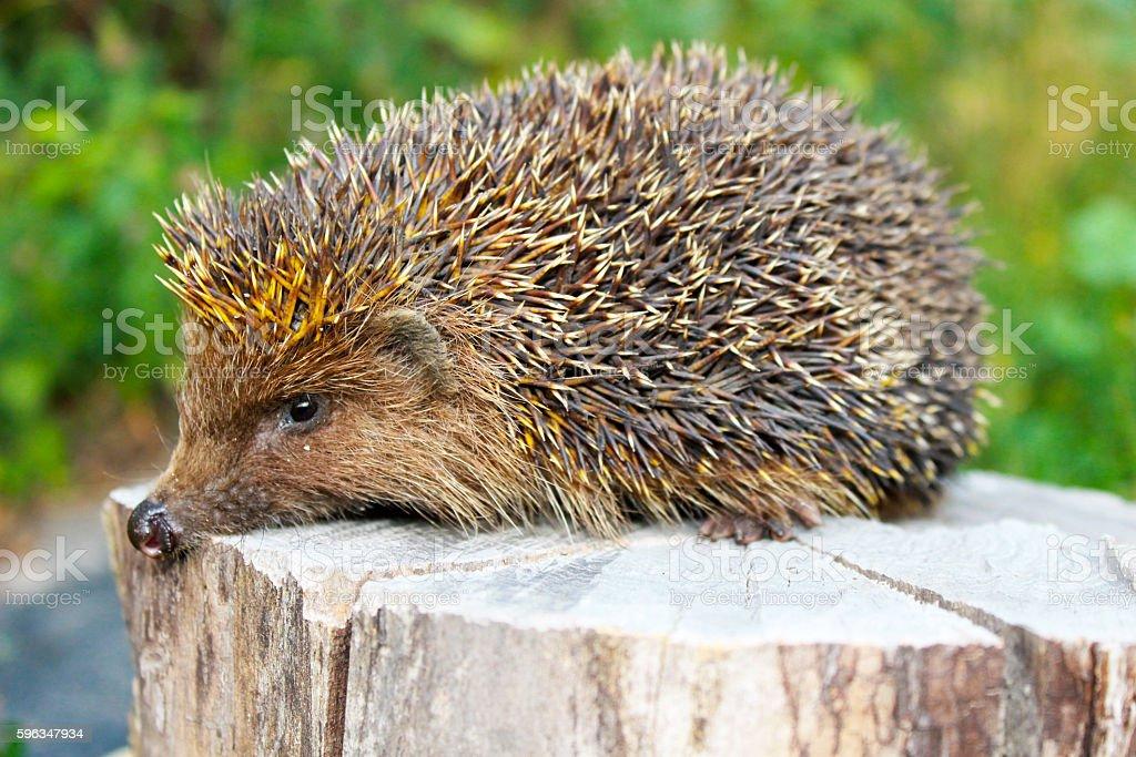 Hedgehog on the log royalty-free stock photo