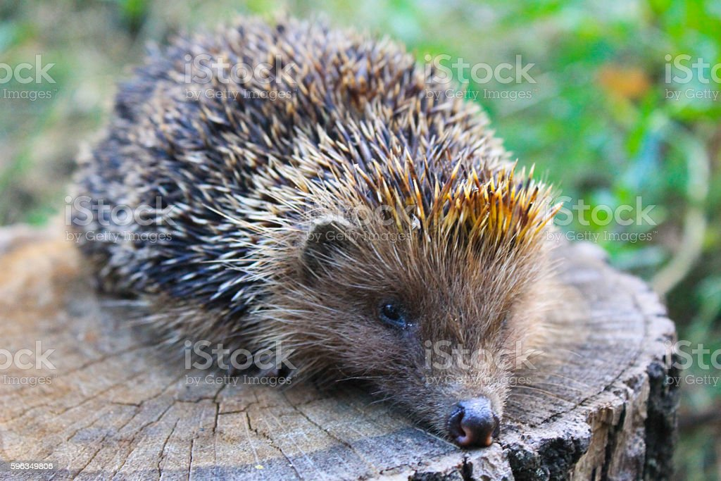 Hedgehog on the log royalty-free stock photo