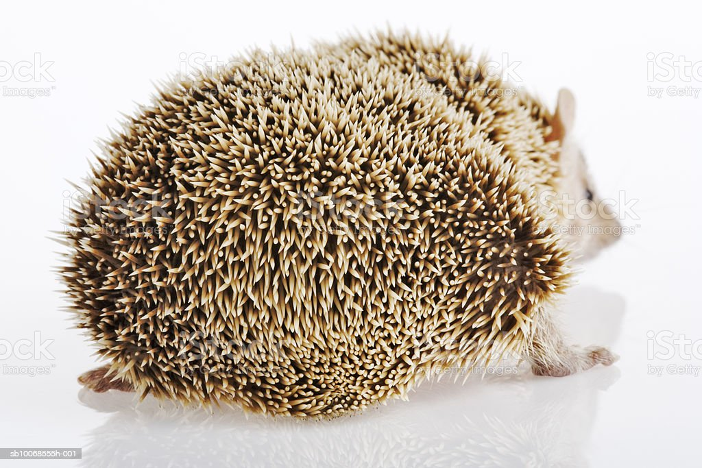 Hedgehog on white background, close-up foto de stock libre de derechos