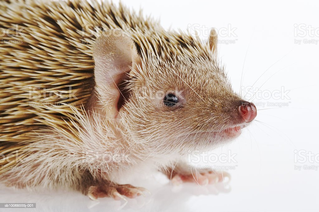 Hedgehog on white background, close-up royalty-free stock photo