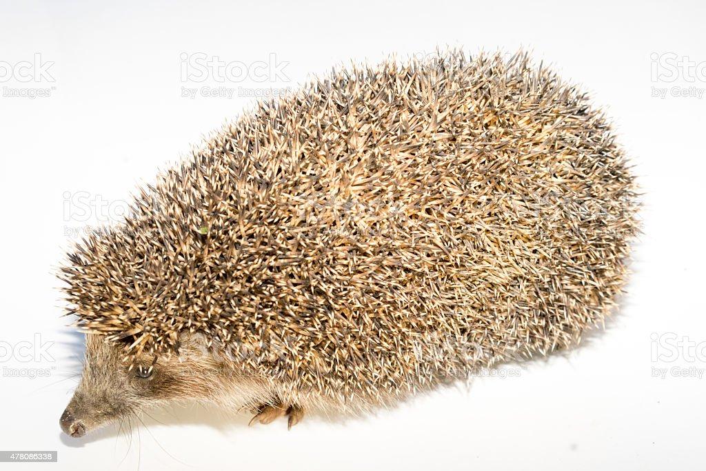Hedgehog on white background stock photo