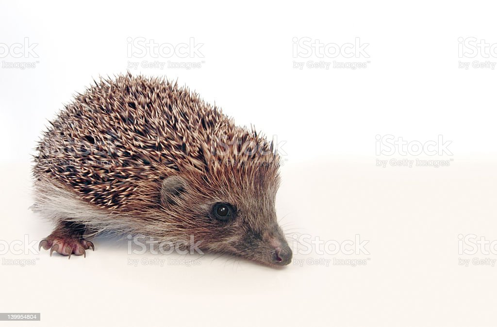 Hedgehog over white royalty-free stock photo
