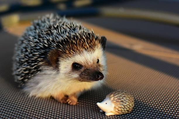 hérisson - animaux familiers exotiques photos et images de collection