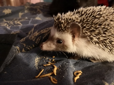 Hedgehog enjoying a delicious treat