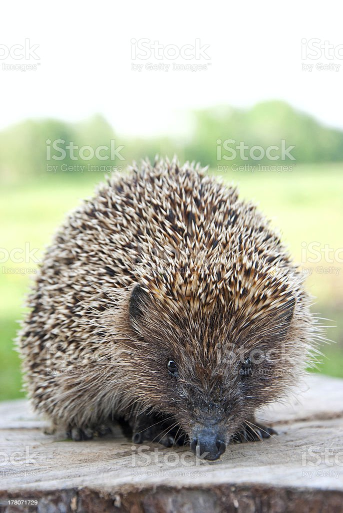 Hedgehog royalty-free stock photo