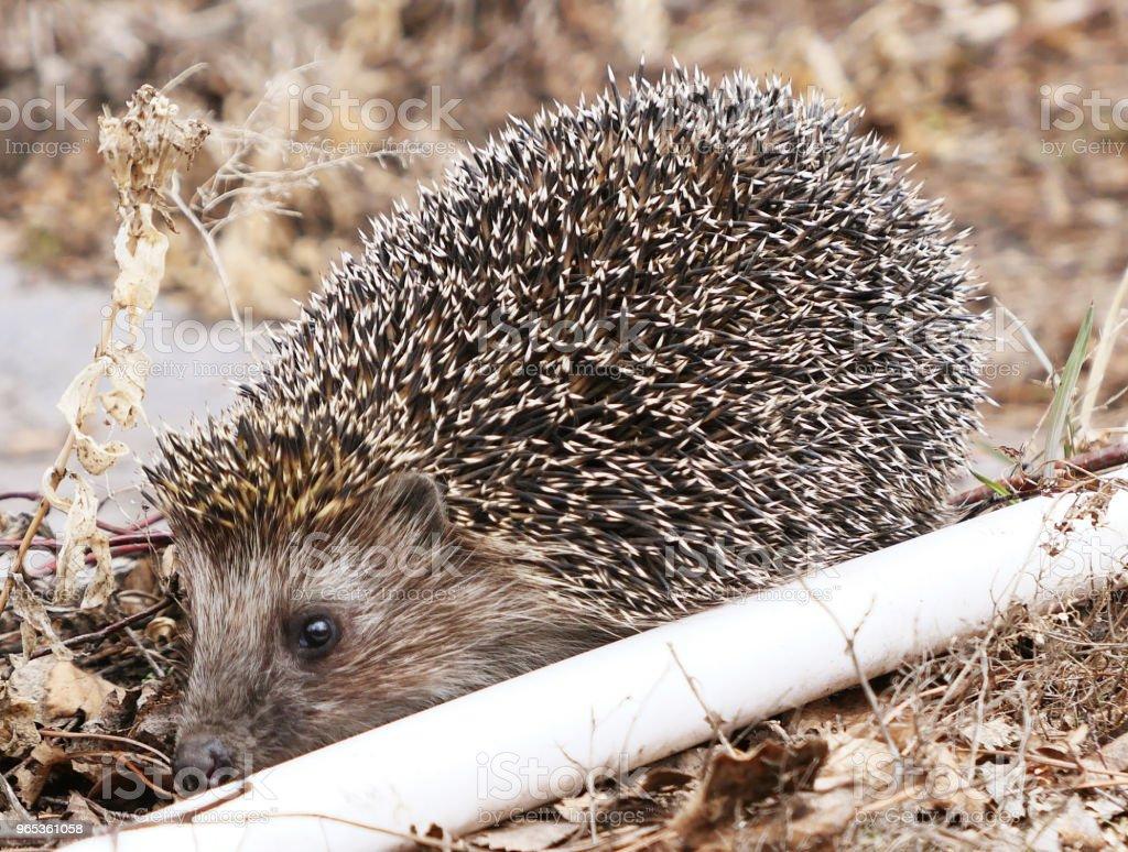 Hedgehog zbiór zdjęć royalty-free