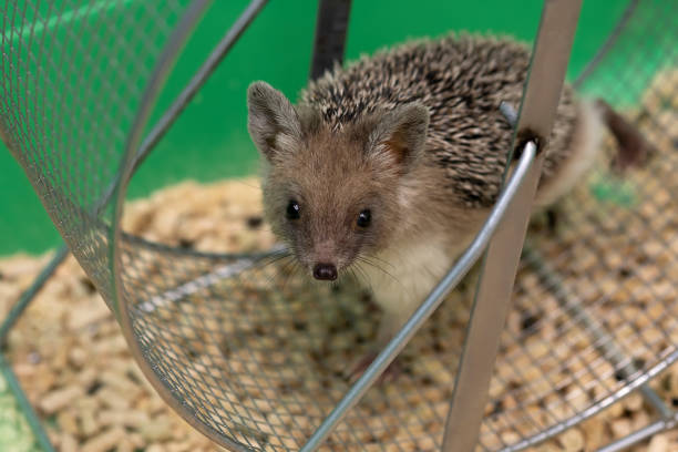 hedgehog runs in wheel. The pet is looking at you. Protection, animal care hedgehog runs in wheel. The pet is looking at you. Protection, animal care. bristle animal part stock pictures, royalty-free photos & images
