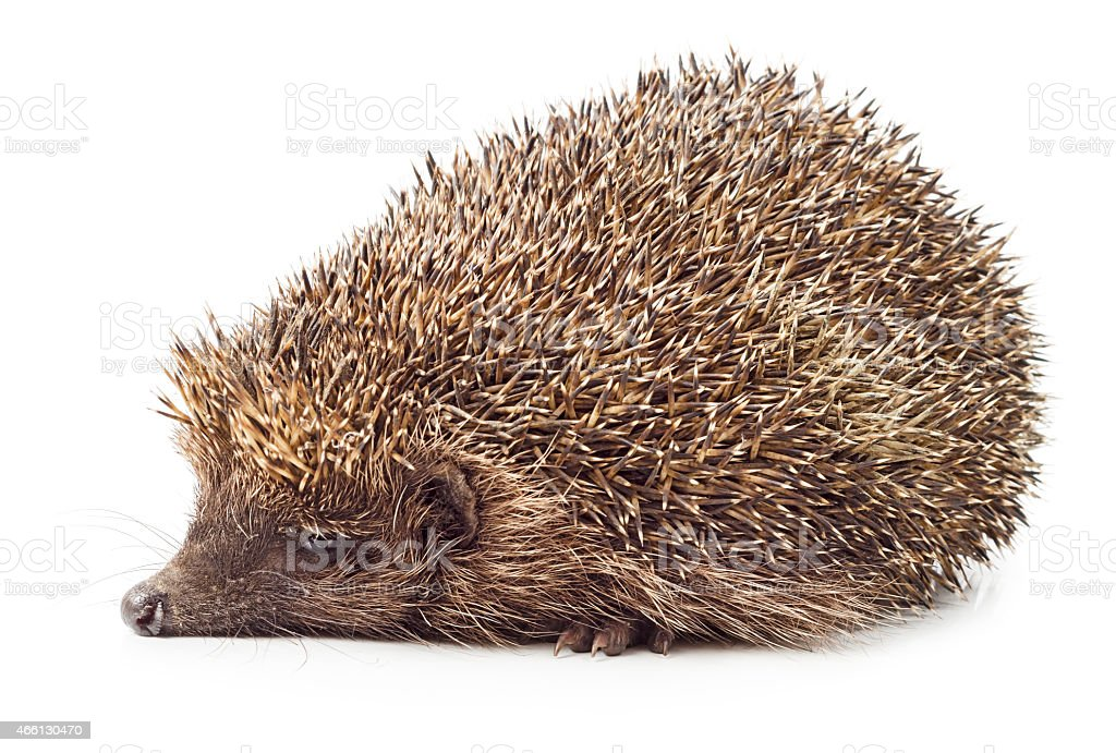 Hedgehog side view stock photo
