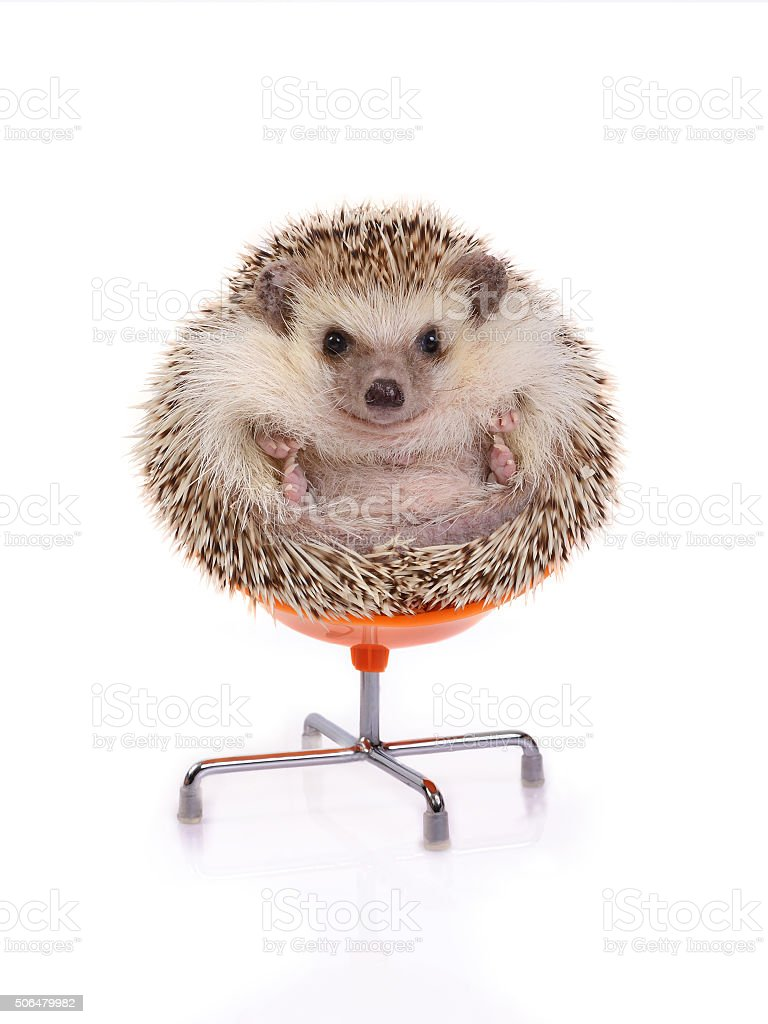 Hedgehog sitting on chair. stock photo