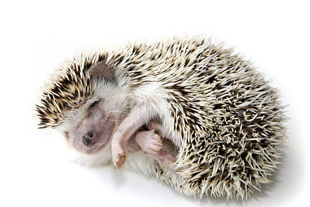 Hedgehog sleeping picture id172416267?b=1&k=6&m=172416267&s=612x612&w=0&h=loiudue3ohzfpfpxalvdoibvwouqawvtav3sc7vdcc4=