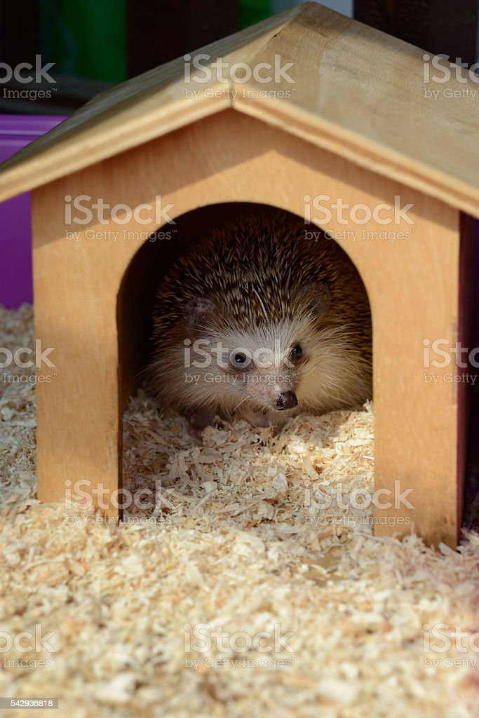 Hedgehog stay in wooden house. stock photo