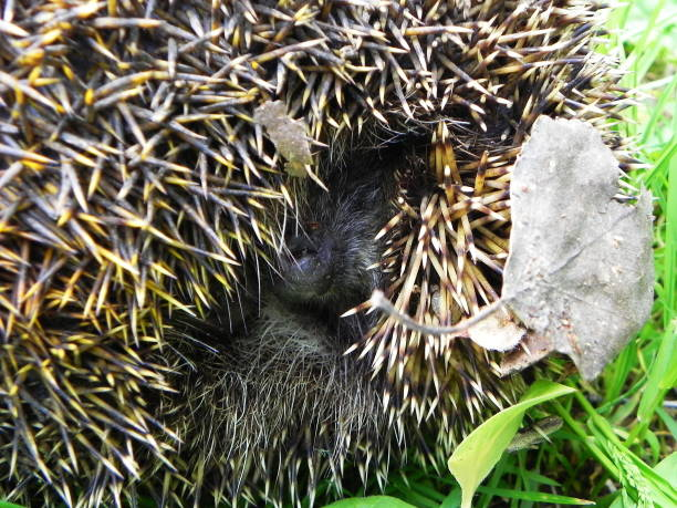 Hedgehog the hedgehog curled up and shows his needles picture id1136863229?b=1&k=6&m=1136863229&s=612x612&w=0&h=3zuz5i0iueielz9uxxcd7wbdi8qdxdqfbfgahxlrfxy=