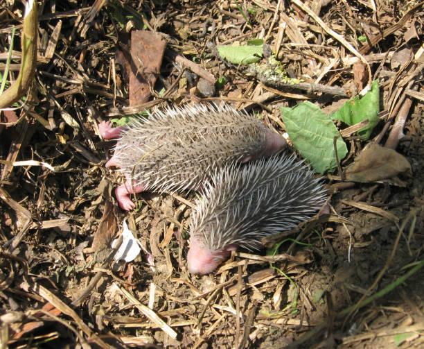 Porco-espinho. O mamífero espinhoso é um porco-espinho. - foto de acervo