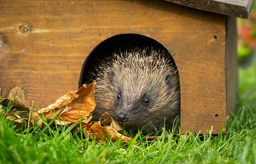 Hedgehog, wild, native, European hedgehog emerging from a hedgehog house in early Spring.  Natural garden habitat.  Facing forward.