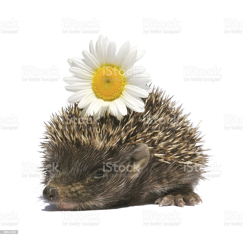 hedgehog with flower royalty-free stock photo