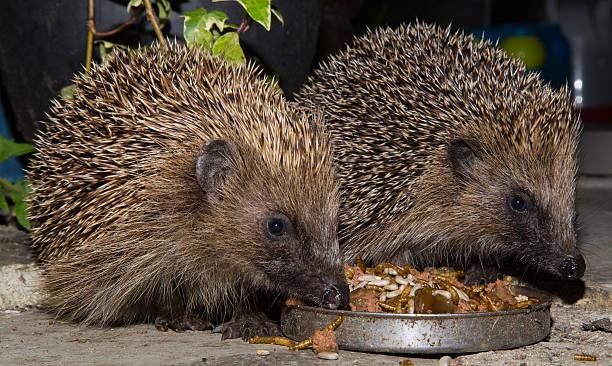 Cтоковое фото Hedgehogs ест