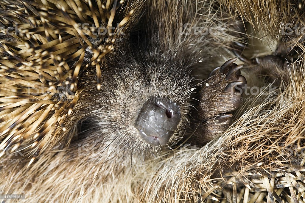 hedgehog's nose royalty-free stock photo