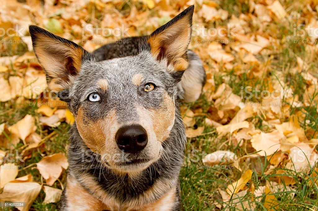 Heeler Mix Headshot on leaf background stock photo