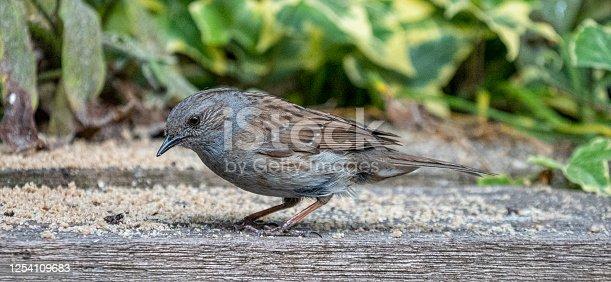 De heggenmus is een van de meest voorkomende broedvogels in Nederland. Heggenmussen vliegen niet vaak en scharrelen vooral over de grond om voedsel te zoeken.