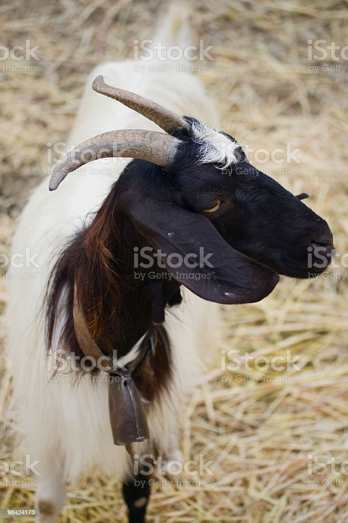 He-goat royalty-free stock photo
