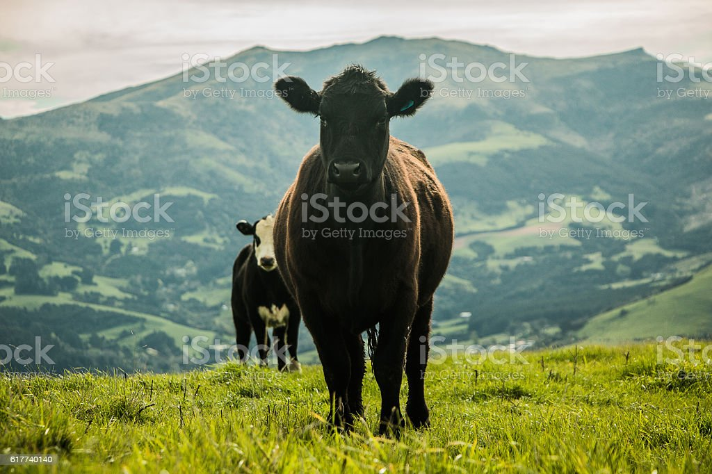Heifer on hills stock photo