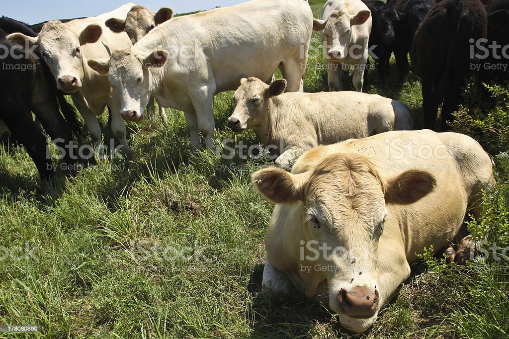 Heifers at Leisure on Pasture royalty-free stock photo