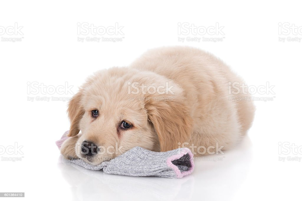 Height weeks old Golden Retriever laying down on sock – Foto
