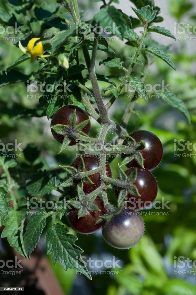 Heirloom blueberry tomatoes are burgundy colored when ripe and purple when growing. stock photo