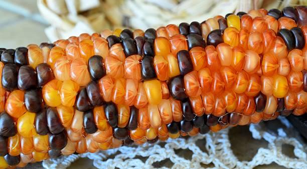 Heirloom Corn or Indian Corn stock photo