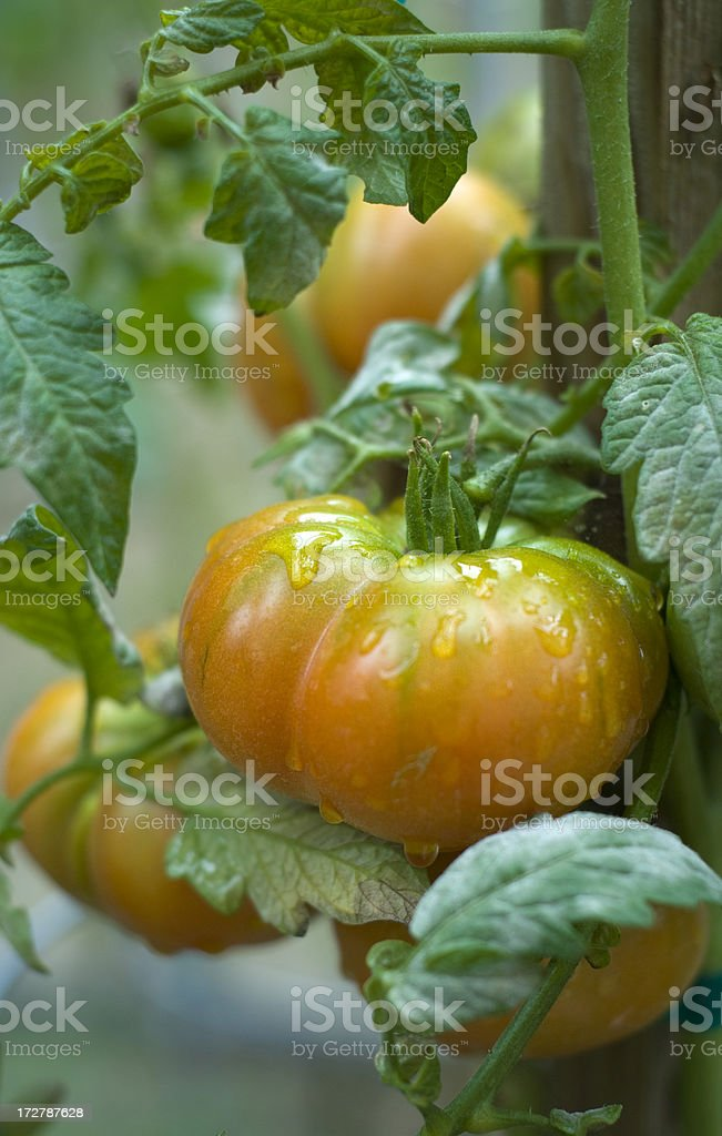 Heirloom Tomato Plant Growing Homegrown Produce in Organic Vegetable Garden stock photo