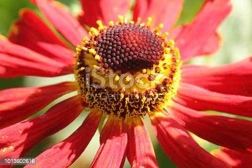 Close up image of a red helenium flower