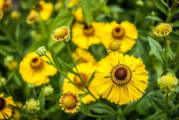 Helenium Flowers stock photo