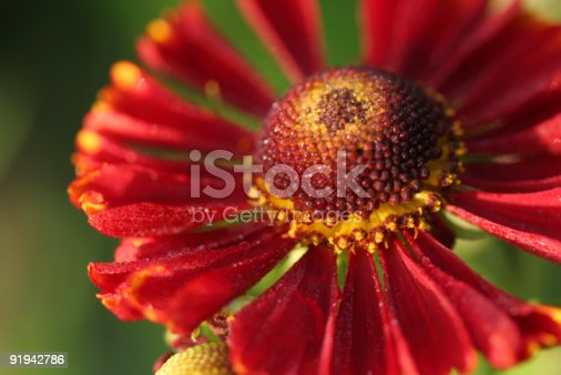 The rich red of a helenium flower against a green background