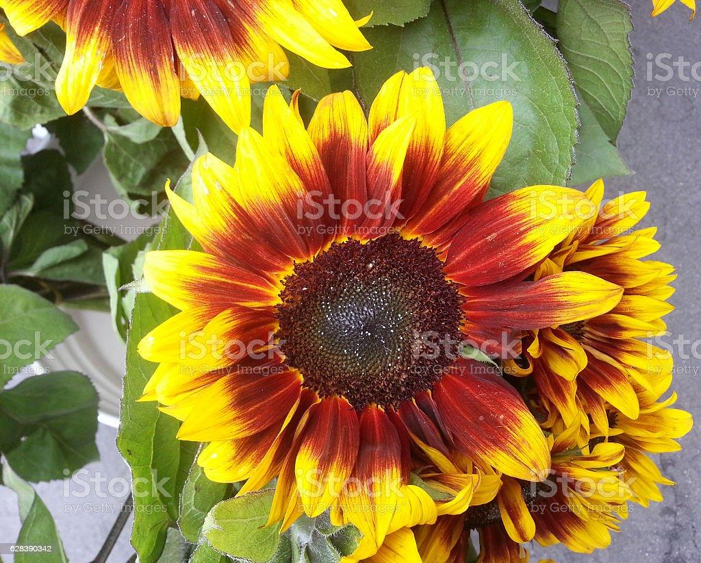 Helianthus annuus. Sunflower pastiche stock photo