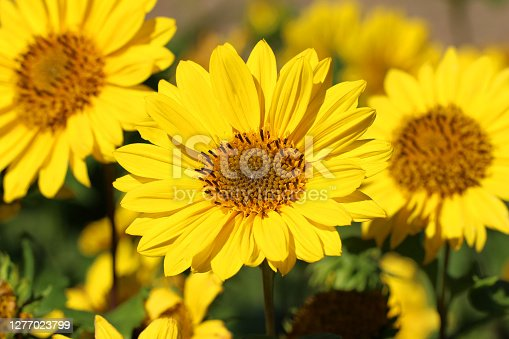 Helianthus decapetalus flowers or Stauden-Sonnenblumen
