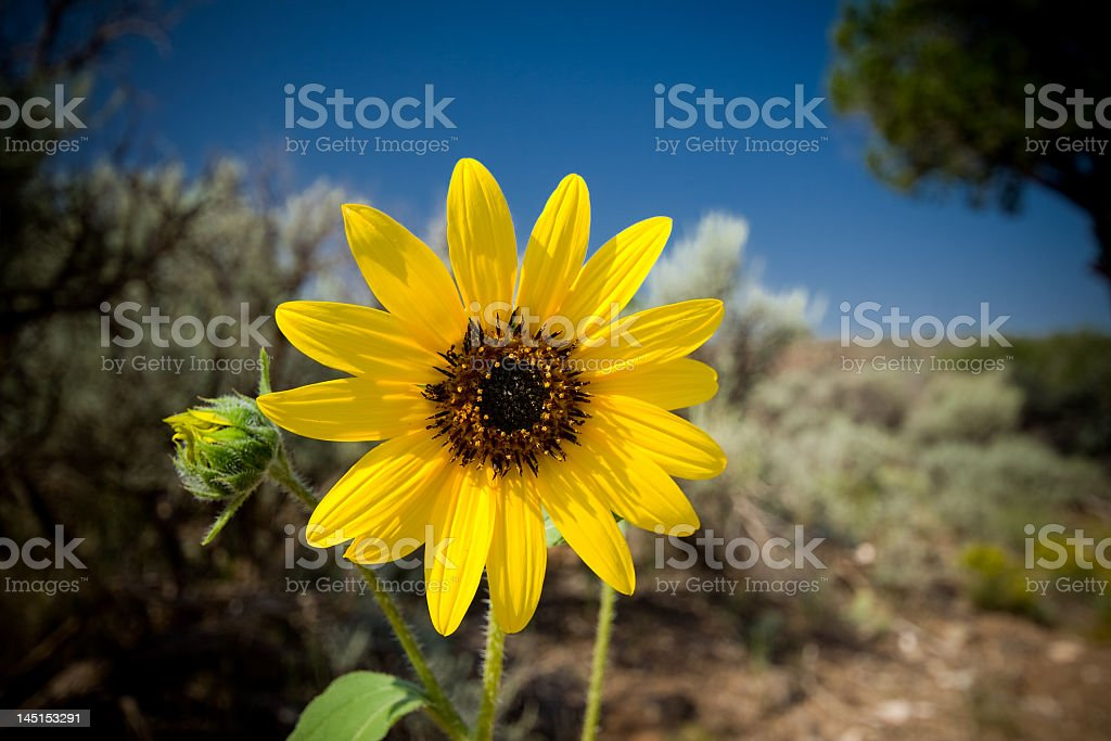 Helianthus laetiflorus Sunflower Sagebrush In Desert, New Mexico, USA royalty-free stock photo
