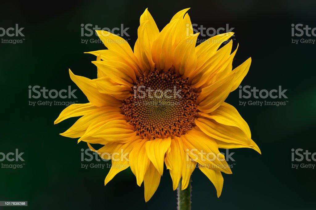 Helianthus (Sunflower) stock photo