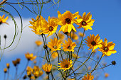 Helianthus salicifolius flowers - willow-leaved sunflower - Weidenblättrige Sonnenblume