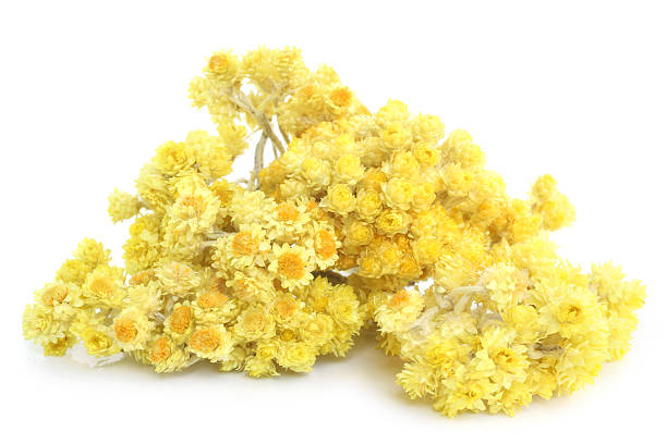 Helichrysum flowers stock photo
