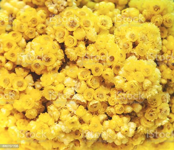 Photo of Helichrysum (xeranthemum annuum)
