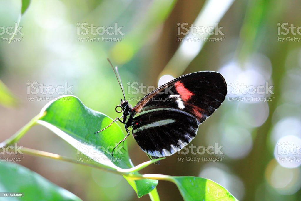 Helicoius butterfly stock photo