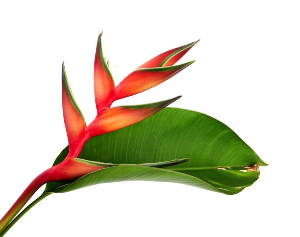 Heliconia bihai (Red palulu) flower with leaf, Tropical flowers isolated on white background, with clipping path stock photo
