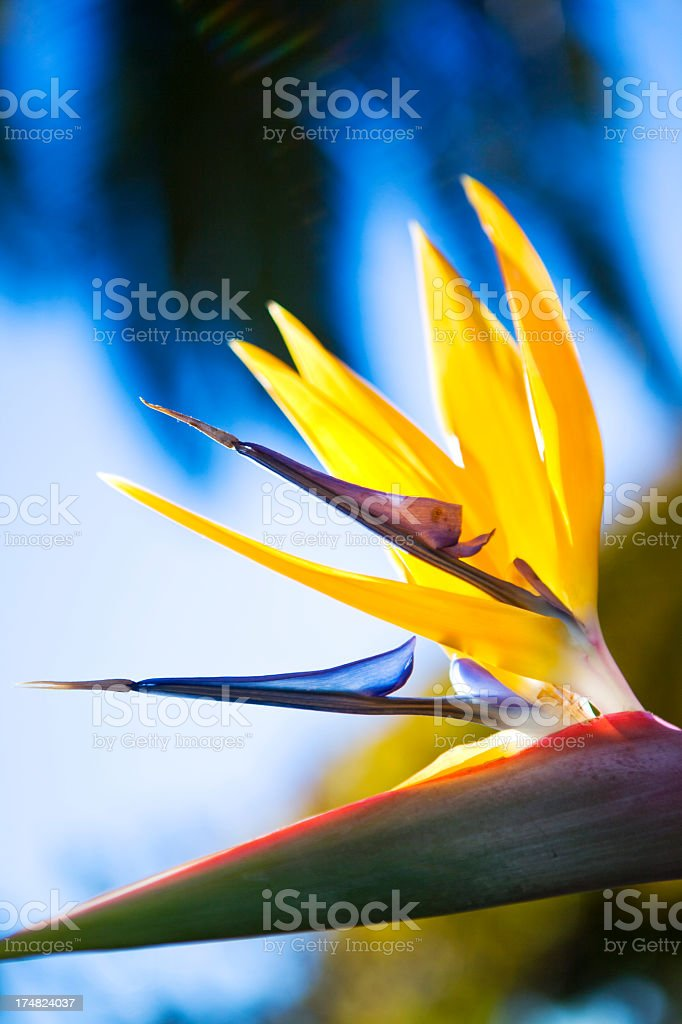 Heliconia flower stock photo