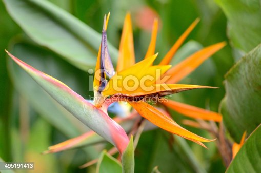 Heliconia flower in the garden