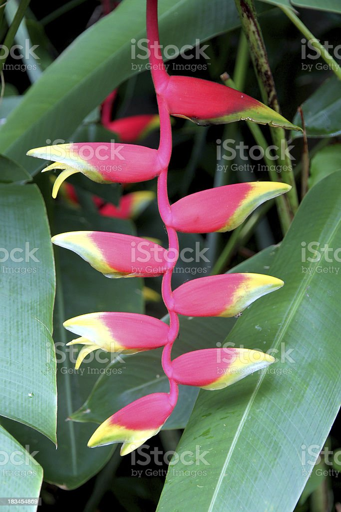 Heliconia flowers in the garden. royalty-free stock photo